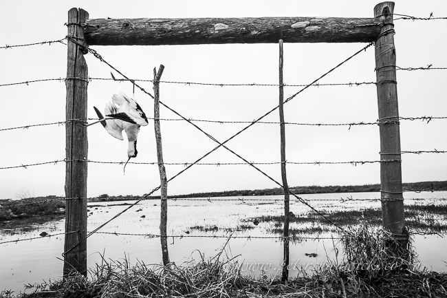 Avocet hanging on farm fence by wildlife and cosnervation photographer Peter Chadwick
