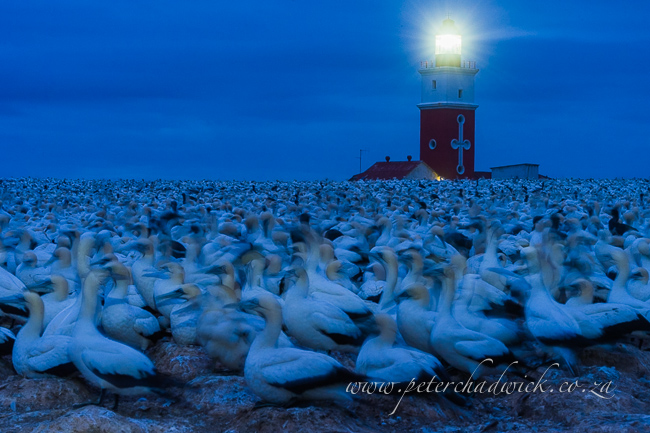Cape Gannets and Bird Island Lighthouse by wildlife and conservation photographer Peter Chadwick