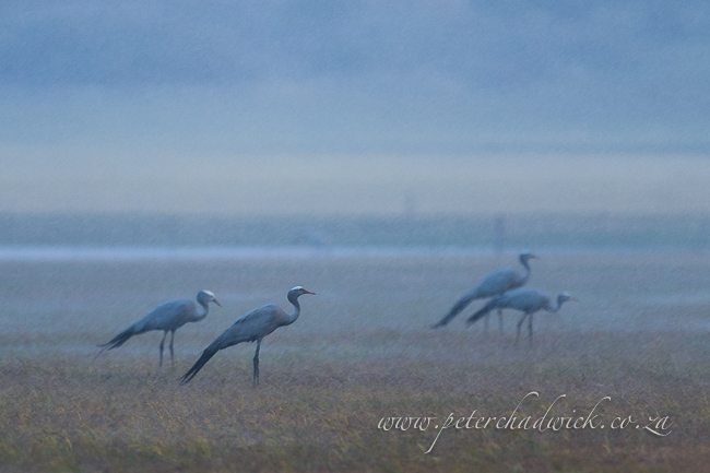 Blue cranes in the rain by wildlife and conservation photographer Peter Chadwick