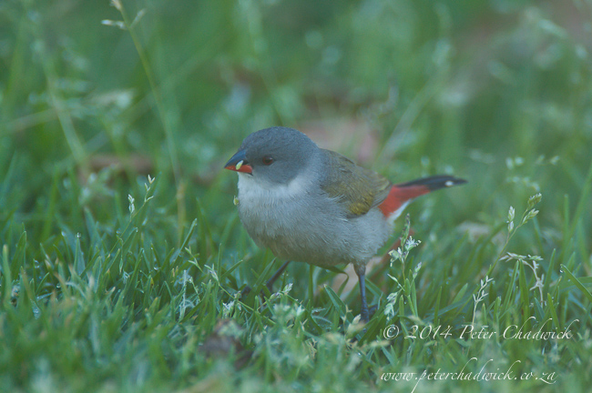 male swee waxbill by wildlife and conservation photographer Peter Chadwick