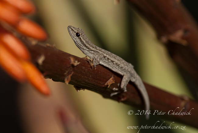 Cape dwarf gecko by wildlife and conservation photographer Peter Chadwick