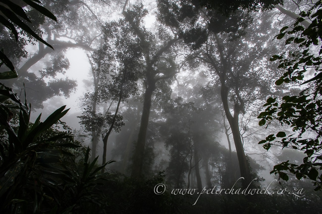 mist belt forest on gorongosa mountain by wildlife and conservation photographer Peter Chadwick