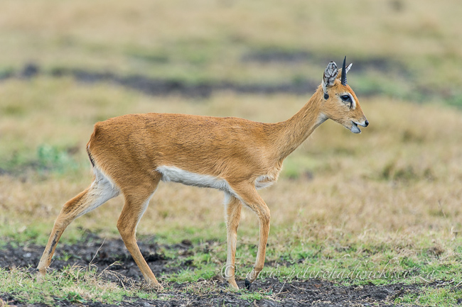 oribi by wildlife and conservation photographer Peter Chadwick