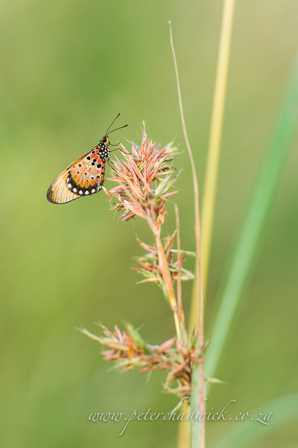Acraea butterfly on grass stem by Wildlife and conservation photographer Peter Chadwick