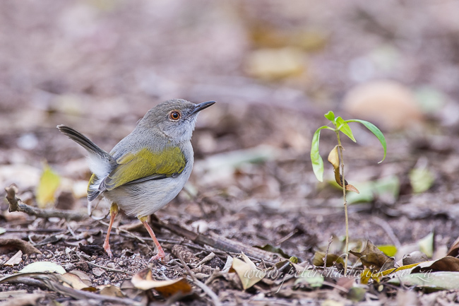 Grey backed cameroptera by wildlife and conservation photographer peter chadwick