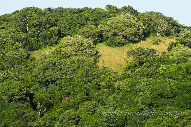 Ongoye forest by wildlife and conservation photographer peter chadwick