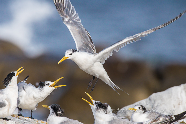 swift terns wildlife and conservation photographer peter chadwick