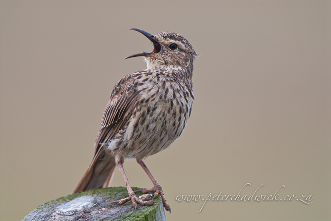 agulhas long billed lark wildlife and conservation photographer peter chadwick