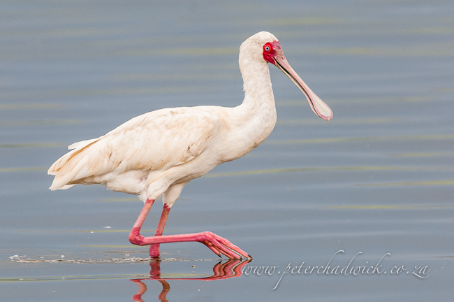 african spoonbill wildlife and conservation photographer peter chadwick