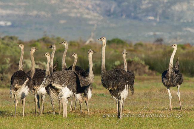 Ostrich flock wildlife and conservation photographer peter chadwick