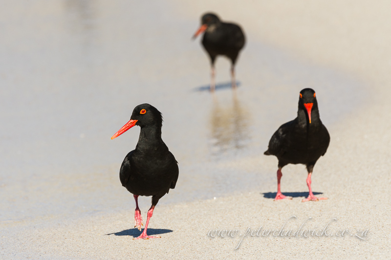 African Black Oystercatcher family by wildlife and conservation photographer Peter Chadwick