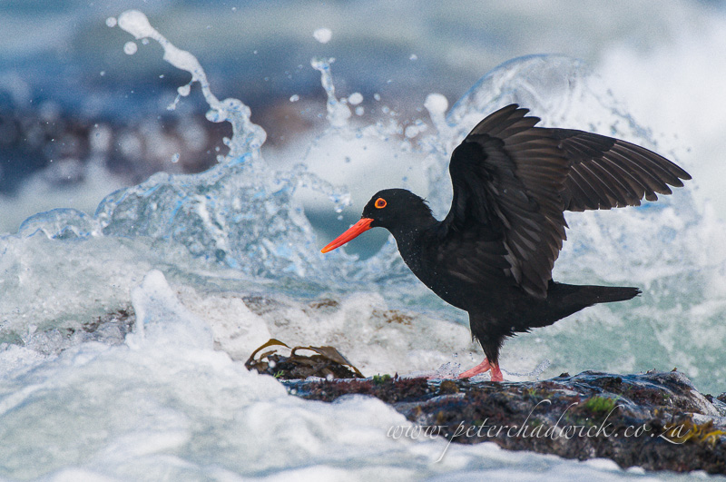 african Black Oystercatcher landing on a wave smashed rock by wildlife and conservation photographer Peter Chadwick