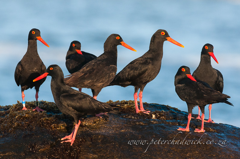 African Black Oystercatcher flock by wildlife and conservation photographer Peter Chadwick