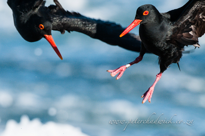 African Black Oystercatchers sparring by wildlife and conservation photographer Peter Chadwick