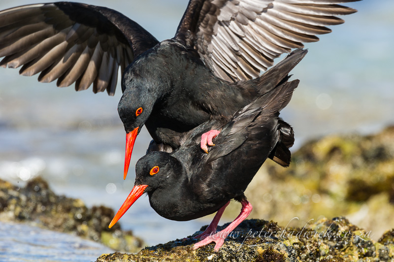 African Black Oystercatchers mating by wildlife and conservation photographer Peter Chadwick