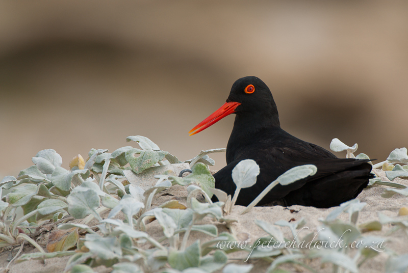 African Black Oystercatcher incubating on nest by wildlife and conservation photographer Peter Chadwick