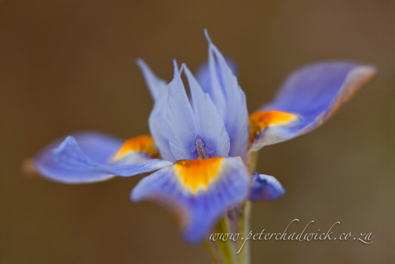 morea fugax flower by wildlife and conservation photographer Peter Chadwick