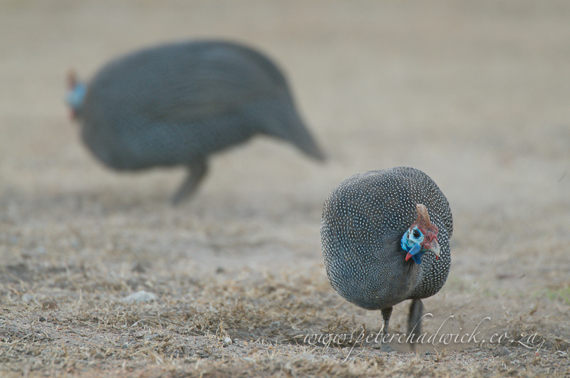 helmeted guineafowl scratching in the dirt by wildlife and conservation photographer Peter Chadwick