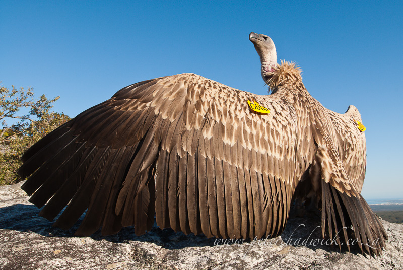 wing-tagged cape vulture by wildlife and conservation photographer Peter Chadwick