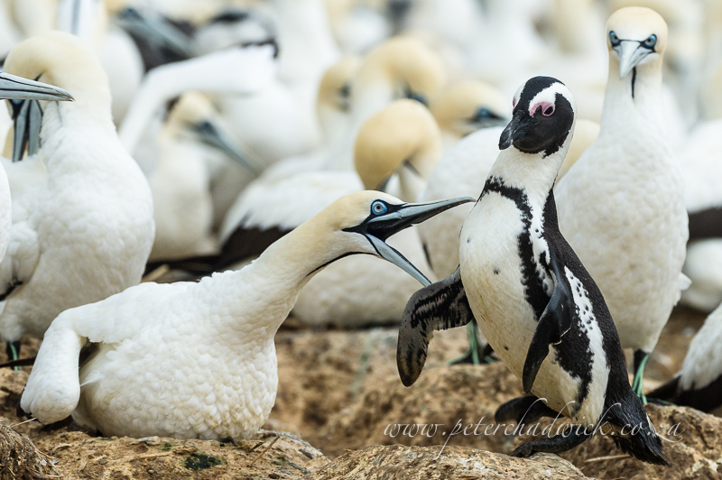 Cape gannet and african penguin by wildlife and conservation photographer Peter Chadwick