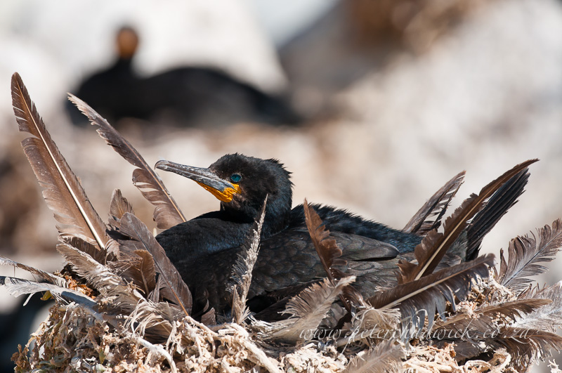 nesting cape cormorant by wildlife and conservation photographer Peter Chadwick