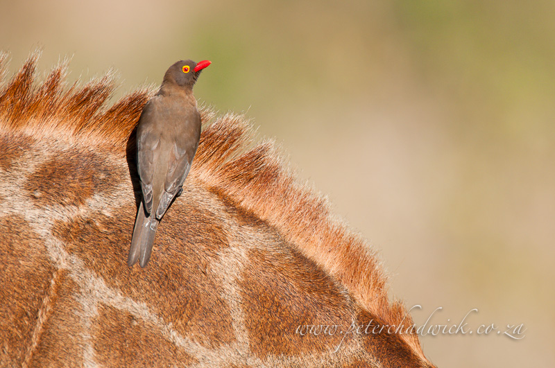 red-billed oxpecker by wildlife and conservation photographer Peter Chadwick