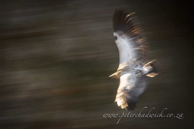 Cape vulture in flight by wildlife and conservation photographer Peter Chadwick