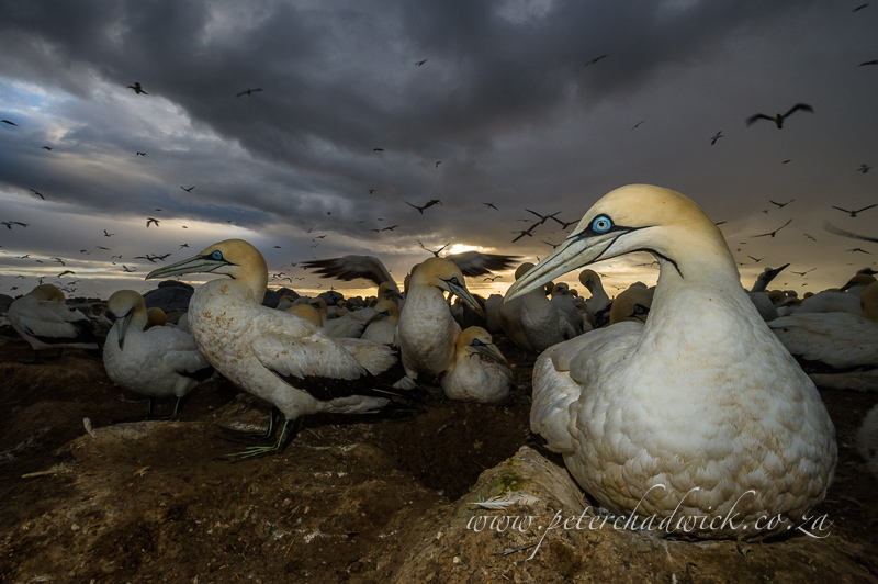 cape gannets and storm by wildlife and conservation photographer Peter Chadwick