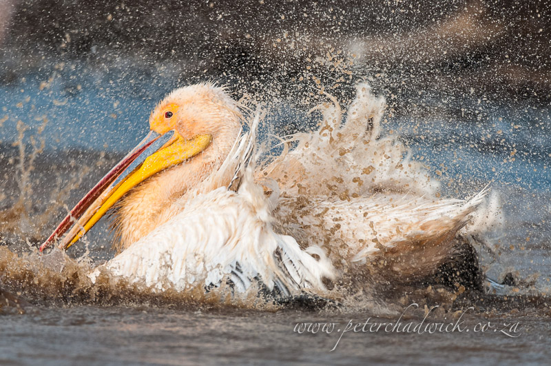 bathing great white pelican by wildlife and conservation photographer Peter Chadwick