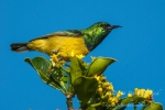 Male collared sunbird by wildlife and conservation photographer Peter Chadwick