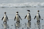 African penguins by wildlife and conservation photographer Peter Chadwick.