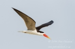 African Skimmer in flight by wildlife and conservation photographer Peter Chadwick