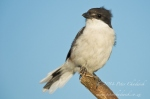 Fiscal flycatcher by wildlife and conservation photographer Peter Chadwick.jpg