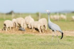 Blue crane and sheep by wildlife and conservation photographer Peter Chadwick