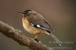 Bearded Scrub Robin by wildlife and conservation photographer Peter Chadwick.jpg