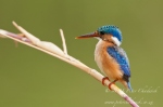 Malachite Kingfisher on reed stem by wildlife and conservation photographer Peter Chadwick.jpg