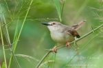 Tawny Flanked Prinia by wildlife and conservation photographer Peter Chadwick