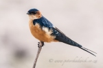 red rumped swallow by wildlife and conservation photographer peter chadwick