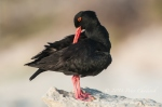 African Black Oystercatcher by wildlife and conservation photographer Peter Chadwick.jpg