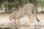 Cheetah drinking by wildlife and conservation photographer Peter Chadwick.jpg