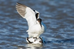 Pied Avocet mating by wildlife and conservation photographer Peter Chadwick.