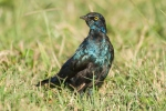 Cape Glossy Starling juvenile by wildlife and conservation photographer Peter Chadwick.