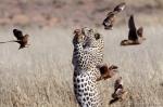 Leopard Hunting sandgrouse | Kgalagadi | ©Matthew Prophet