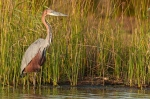 Goliath heron by wildlife and conservation photographer Peter Chadwick.jpg