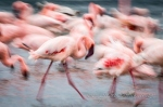 Lesser flamingo mayhem by wildlife and conservation photographer Peter Chadwick