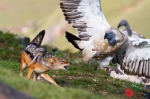 Jackal and Cape Vulture