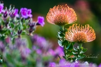 Pin cushions and pelargoniums by wildlife and conservation photographer Peter Chadwick.jpg