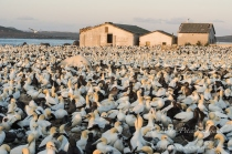 Malgas Island Cape Gannet Colony by wildlife and conservation photographer Peter chadwick.jpg