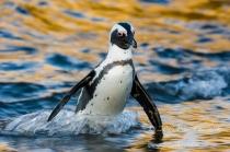African Penguin_©PeterChadwick_AfricanConservationPhotographer.jpg