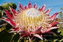 King Protea_©PeterChadwick_AfricanConservationPhotographer.